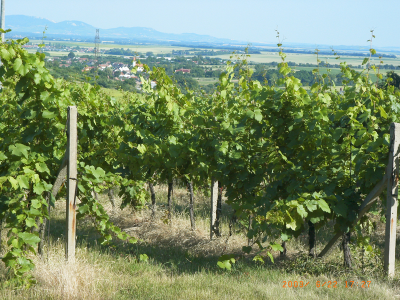 Pohled je z naší vinice v Jezeřanech-Maršovicích na panorama Jižní Moravy. Vlevo Pavlovské vrchy u Mikulova, vpravo Liské vrchy v Rakousku.